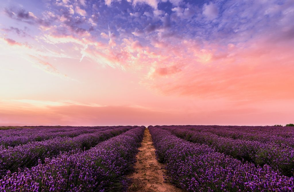 field of lavender at sunset